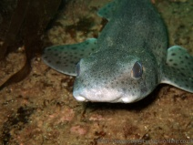 Dogfish at LochInver