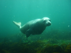 Baby seal at Firth of Forth