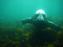 Curious seal at Isle of May