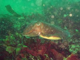Cuttlefish at Plymouth