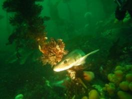 Dogfish at Lochaline