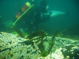 Sea and diver at Isle of May